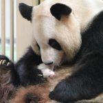 パンダの赤ちゃん上野動物園で誕生!大きさや名前知りたい!